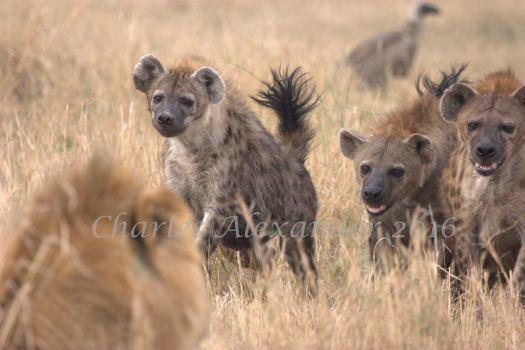 hyena1
